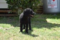 Minya-Poodle-Banksia Park Puppies - 22 of 26