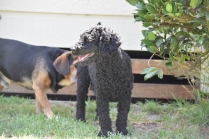 Minya-Poodle-Banksia Park Puppies - 23 of 26