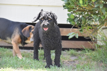 Minya-Poodle-Banksia Park Puppies - 24 of 26