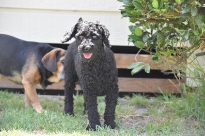 Minya-Poodle-Banksia Park Puppies - 24 of 26