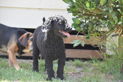 Minya-Poodle-Banksia Park Puppies - 25 of 26