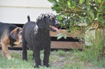Minya-Poodle-Banksia Park Puppies - 26 of 26
