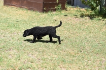 Minya-Poodle-Banksia Park Puppies - 3 of 26