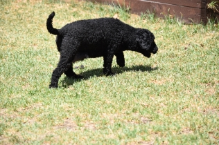 Minya-Poodle-Banksia Park Puppies - 4 of 26
