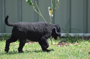 Minya-Poodle-Banksia Park Puppies - 5 of 26