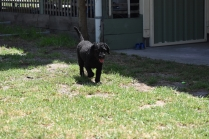 Minya-Poodle-Banksia Park Puppies - 7 of 26