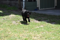 Minya-Poodle-Banksia Park Puppies - 8 of 26