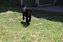 Minya-Poodle-Banksia Park Puppies - 9 of 26