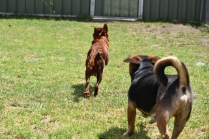 Muppet-Cavoodle-Banksia Park Puppies - 6 of 27