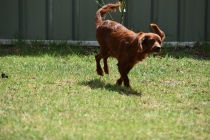 Muppet-Cavoodle-Banksia Park Puppies - 7 of 27