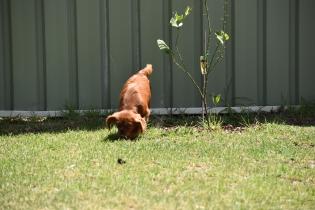 Neta-Cavalier-Banksia Park Puppies - 12 of 42