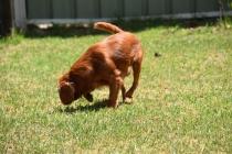 Neta-Cavalier-Banksia Park Puppies - 15 of 42