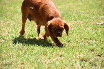 Neta-Cavalier-Banksia Park Puppies - 16 of 42