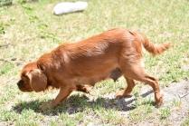 Neta-Cavalier-Banksia Park Puppies - 18 of 42