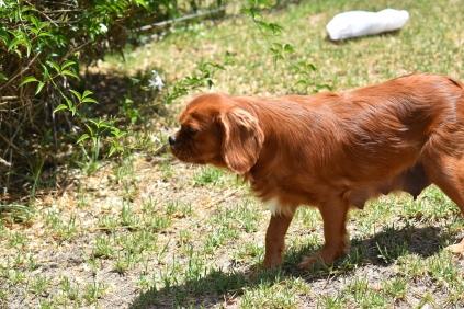 Neta-Cavalier-Banksia Park Puppies - 19 of 42