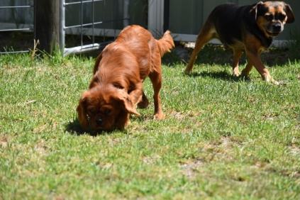 Neta-Cavalier-Banksia Park Puppies - 2 of 42