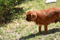 Neta-Cavalier-Banksia Park Puppies - 20 of 42