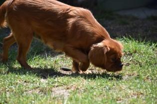 Neta-Cavalier-Banksia Park Puppies - 22 of 42