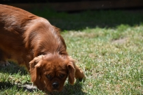 Neta-Cavalier-Banksia Park Puppies - 25 of 42