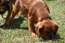 Neta-Cavalier-Banksia Park Puppies - 27 of 42