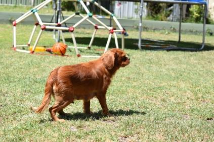 Neta-Cavalier-Banksia Park Puppies - 32 of 42