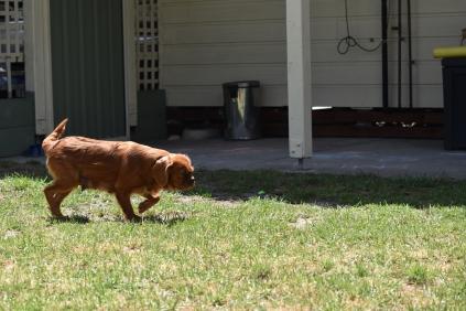 Neta-Cavalier-Banksia Park Puppies - 35 of 42
