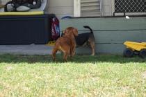 Neta-Cavalier-Banksia Park Puppies - 38 of 42