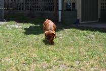 Neta-Cavalier-Banksia Park Puppies - 39 of 42