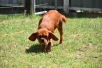 Neta-Cavalier-Banksia Park Puppies - 4 of 42
