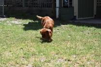 Neta-Cavalier-Banksia Park Puppies - 40 of 42