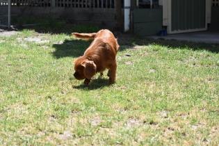 Neta-Cavalier-Banksia Park Puppies - 41 of 42