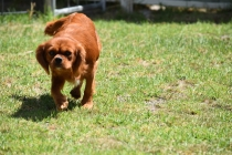 Neta-Cavalier-Banksia Park Puppies - 5 of 42