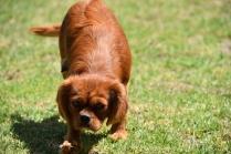 Neta-Cavalier-Banksia Park Puppies - 8 of 42