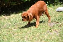 Neta-Cavalier-Banksia Park Puppies - 9 of 42