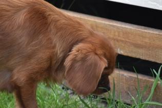 Noni-Cavalier-Banksia Park Puppies - 11 of 25