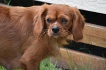 Noni-Cavalier-Banksia Park Puppies - 14 of 25