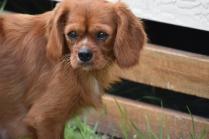 Noni-Cavalier-Banksia Park Puppies - 15 of 25