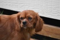 Noni-Cavalier-Banksia Park Puppies - 17 of 25