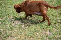 Noni-Cavalier-Banksia Park Puppies - 18 of 25