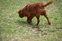 Noni-Cavalier-Banksia Park Puppies - 19 of 25
