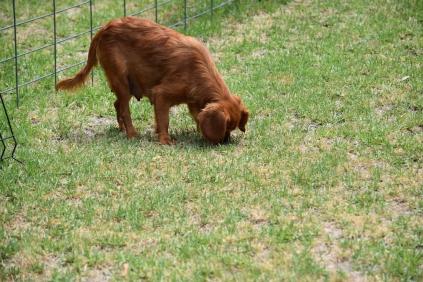 Noni-Cavalier-Banksia Park Puppies - 21 of 25