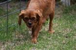 Noni-Cavalier-Banksia Park Puppies - 23 of 25