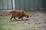 Noni-Cavalier-Banksia Park Puppies - 24 of 25