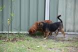 Noni-Cavalier-Banksia Park Puppies - 25 of 25