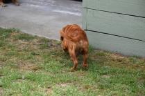 Noni-Cavalier-Banksia Park Puppies - 3 of 25