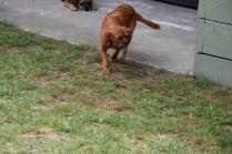Noni-Cavalier-Banksia Park Puppies - 4 of 25