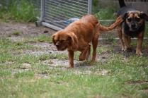 Noni-Cavalier-Banksia Park Puppies - 7 of 25