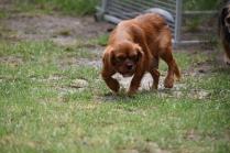 Noni-Cavalier-Banksia Park Puppies - 8 of 25