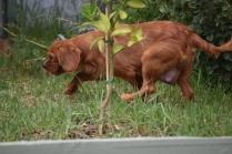 Noni-Cavalier-Banksia Park Puppies - 9 of 25