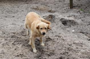 Oscar-Golden Retriever-Banksia Park Puppies - 1 of 41